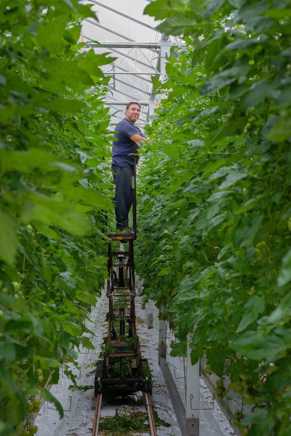 Een werknemer van Breugem Horticulture tussen het gewas