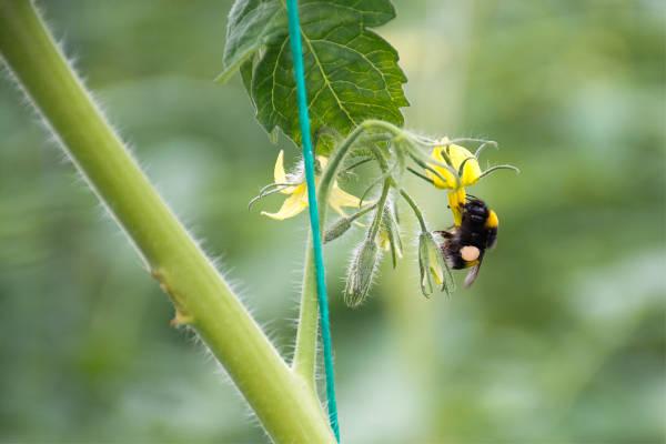 Een hommel bestuift een plant