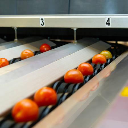 Tomaten op een transportband worden automatisch gesorteerd