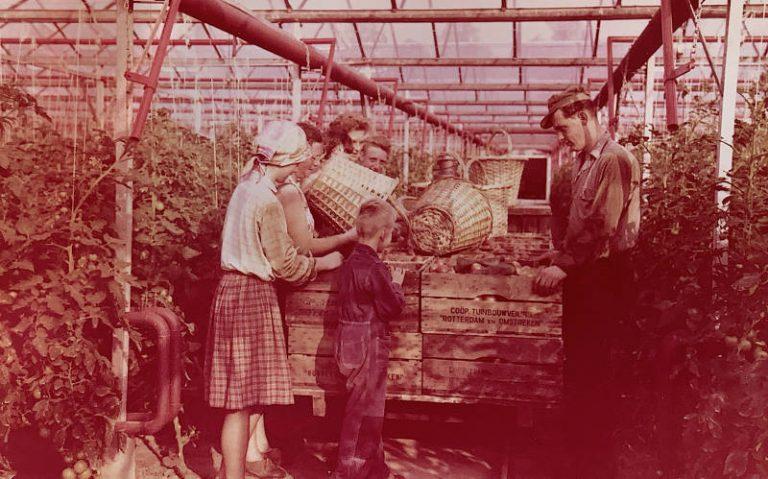 Geschiedenis foto van het oogsten van tomaten